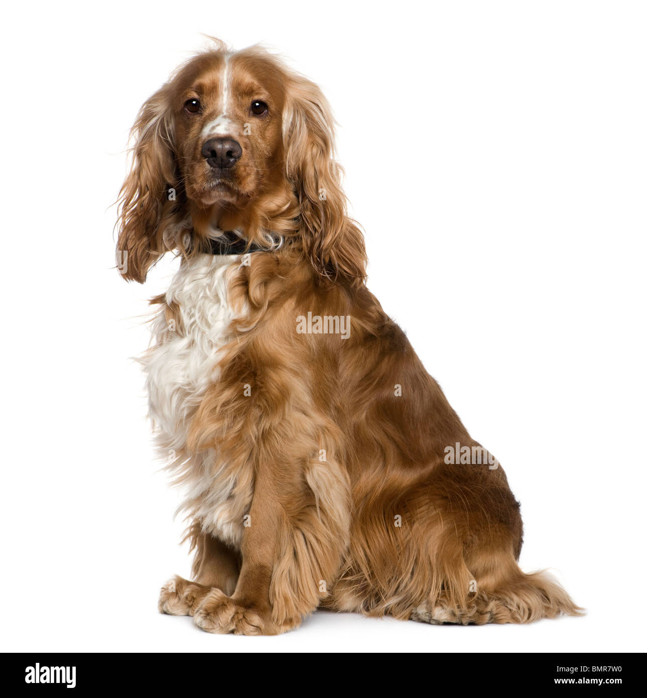 English Cocker Spaniel, 2 and a half years old, sitting in front of white background - Stock Image