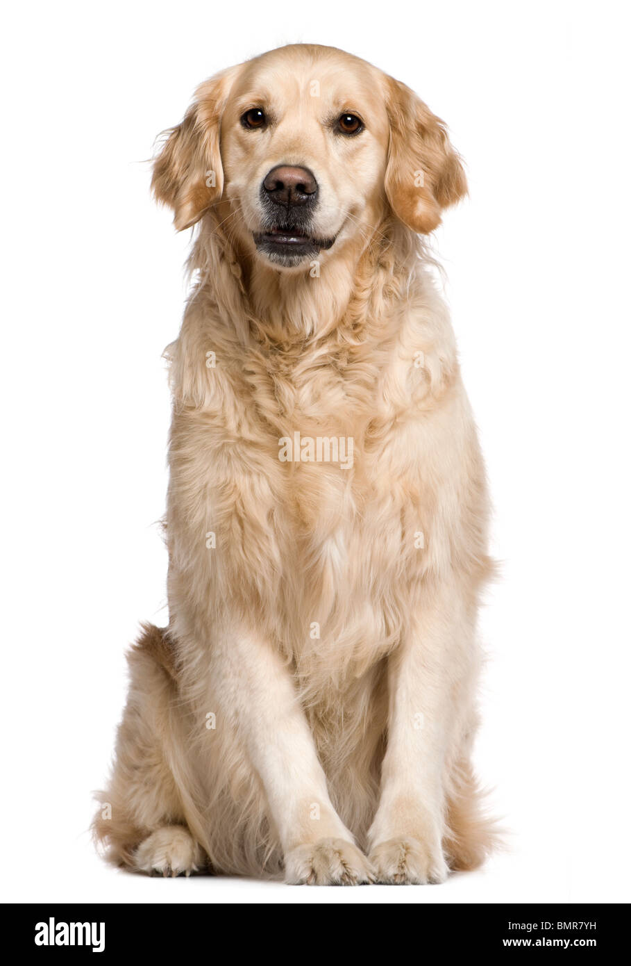 Labrador Retriever, 4 years old, sitting in front of white background - Stock Image