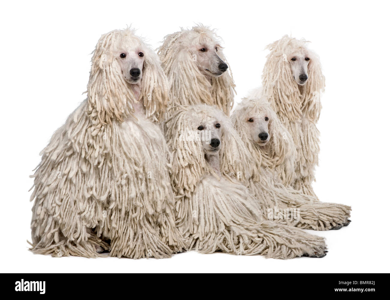 White Corded standard Poodles sitting against white background - Stock Image