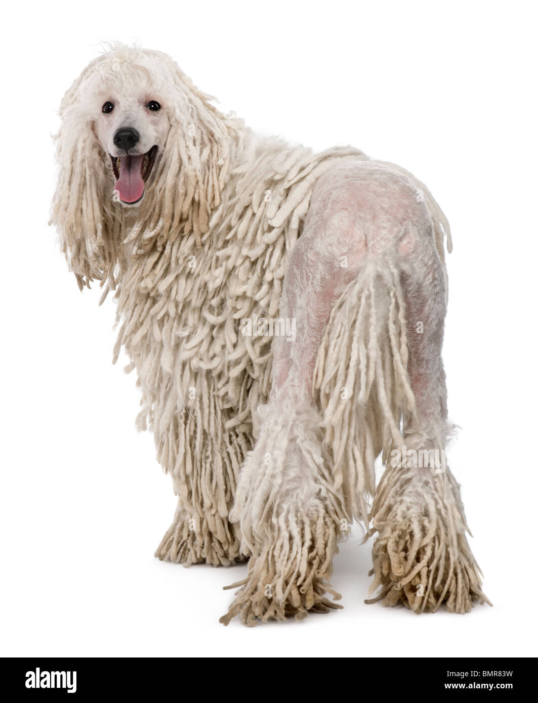 White Corded standard Poodle against white background - Stock Image