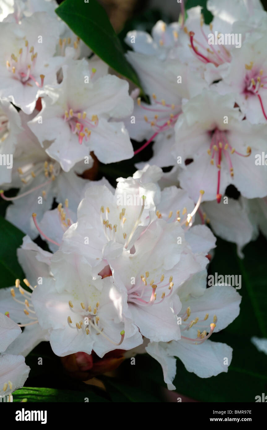 rhododendron jacksonii hybrid flower bloom blossom spring evergreen shrub - Stock Image