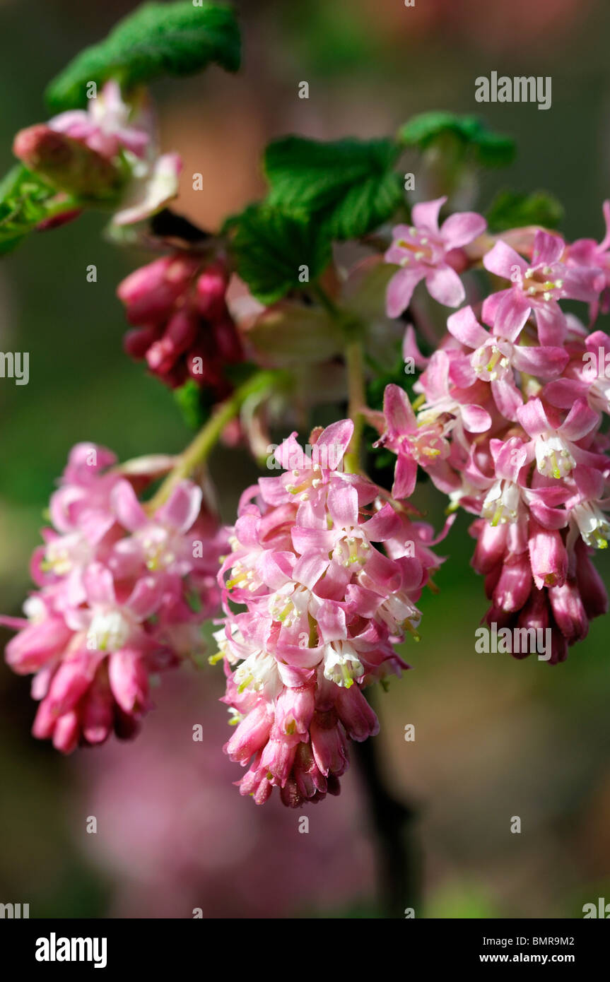 Red flowering currant ribes sanguineum flowers in spring deciduous red flowering currant ribes sanguineum flowers in spring deciduous shrub scented fragrant perfumed flowers early spring mightylinksfo