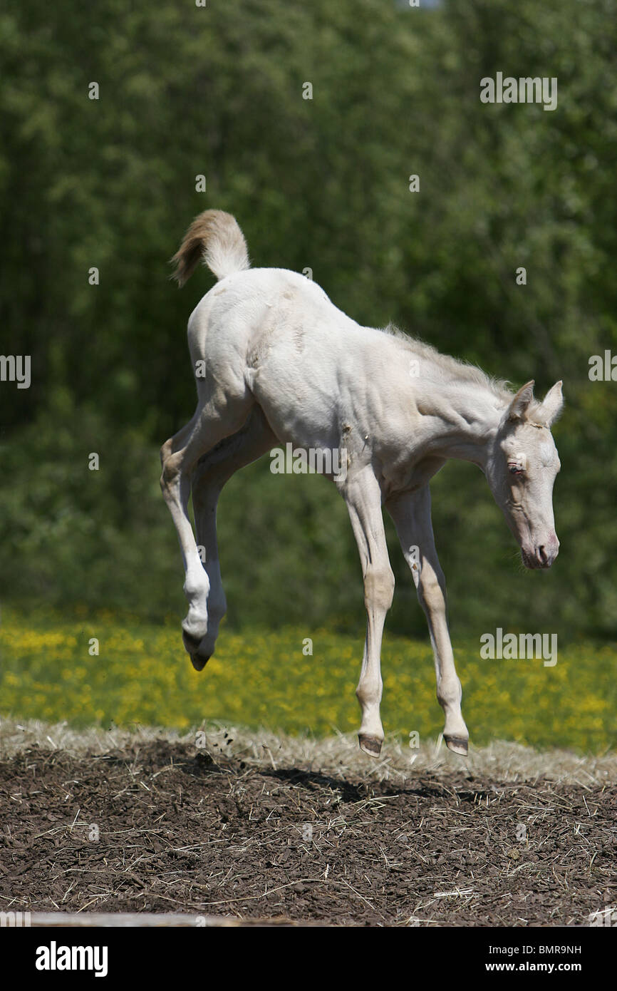 Achal Tekkiner Fohlen / akhal-teke foal - Stock Image