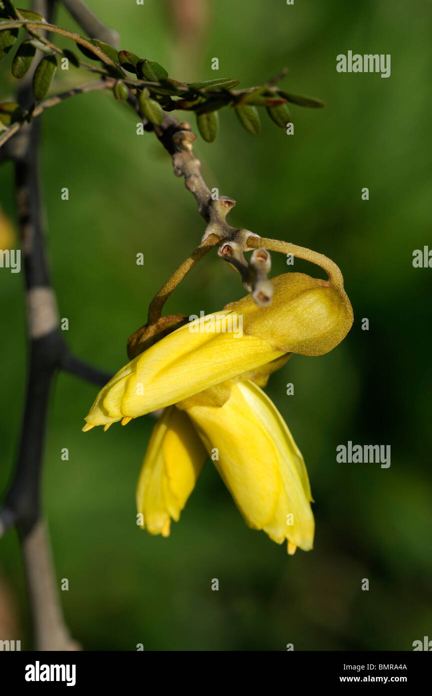 Sophora tetraptera Large-leaved Kowhai Taupo Kowhai (New Zealand) yellow flower bloom blossom spring Stock Photo