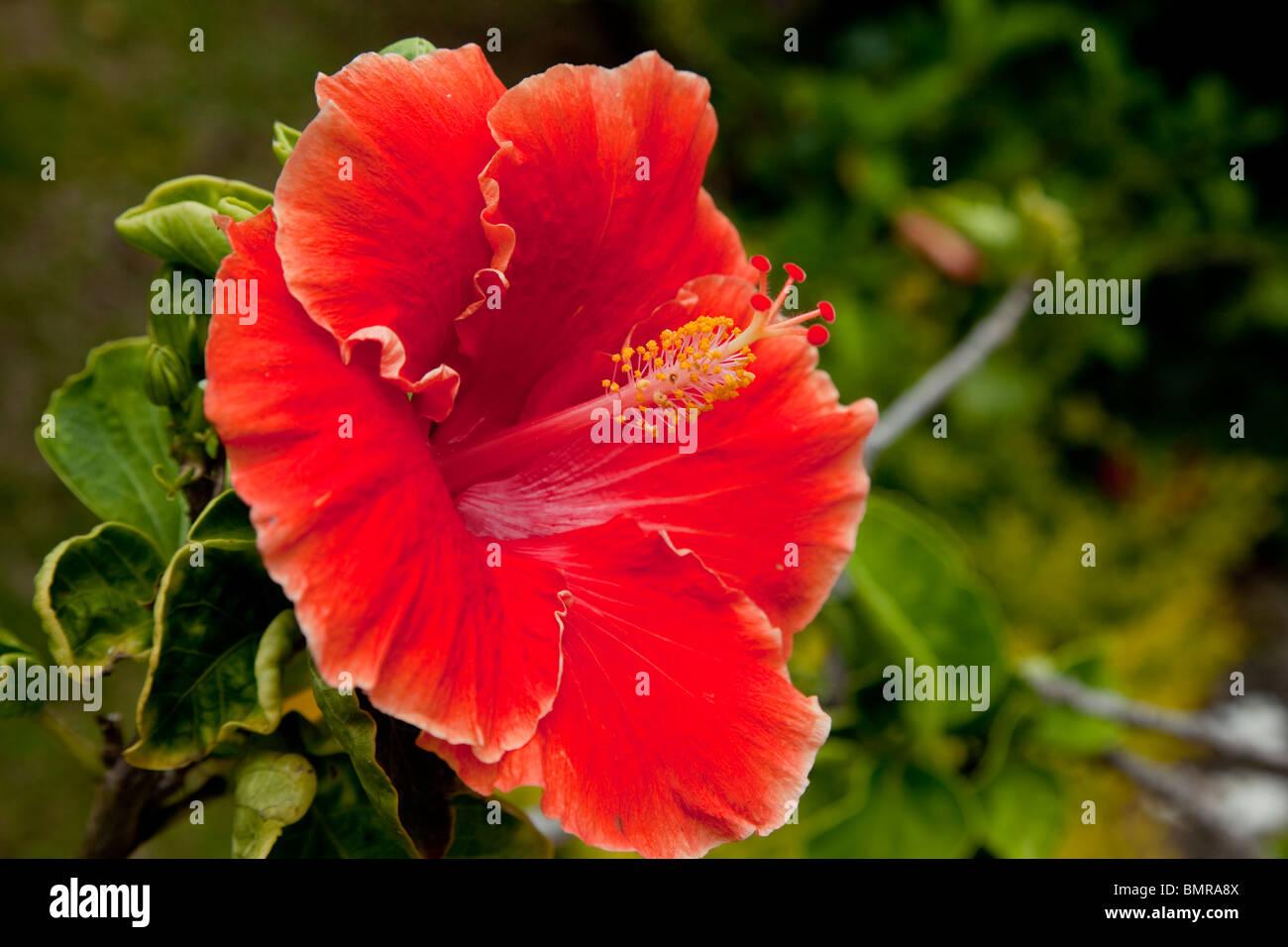 Maui Hawaii Hibiscus Flower Stock Photos Maui Hawaii Hibiscus