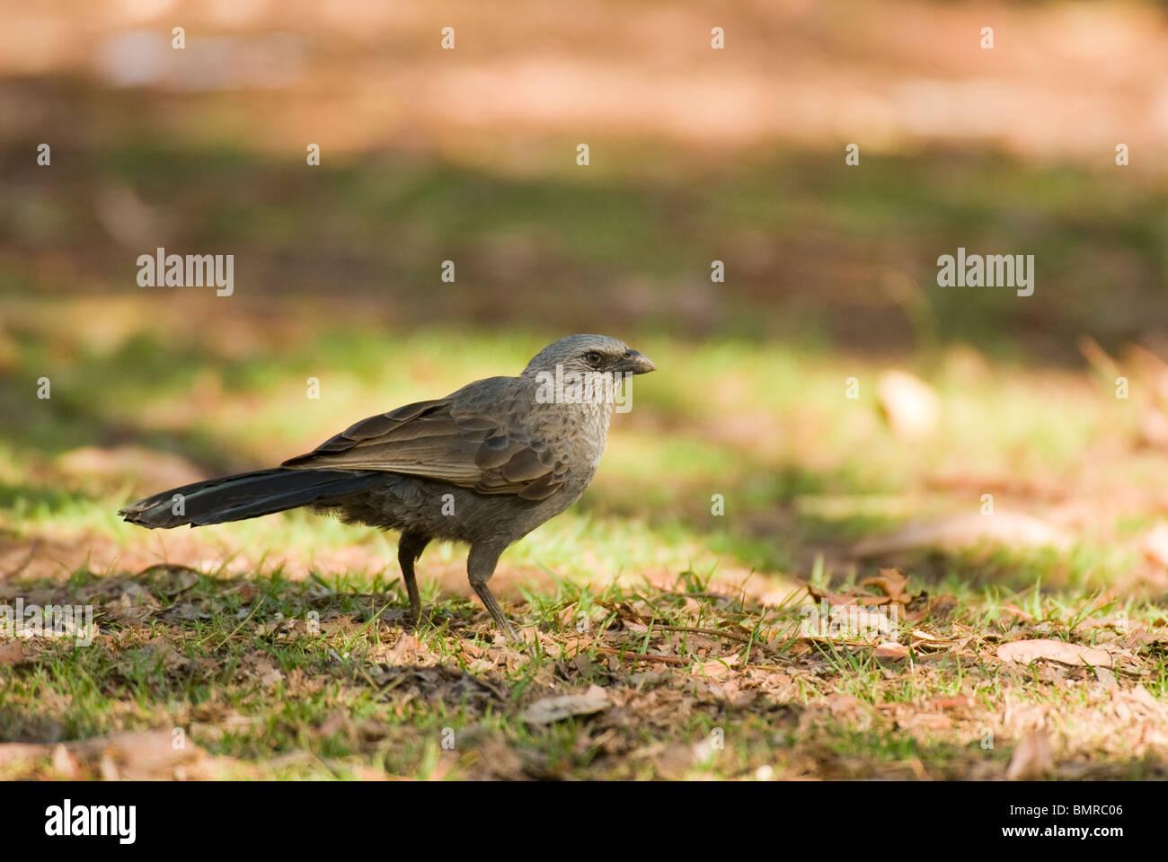 Apostlebird Struthidea cinerea Grey Jumper Australia - Stock Image