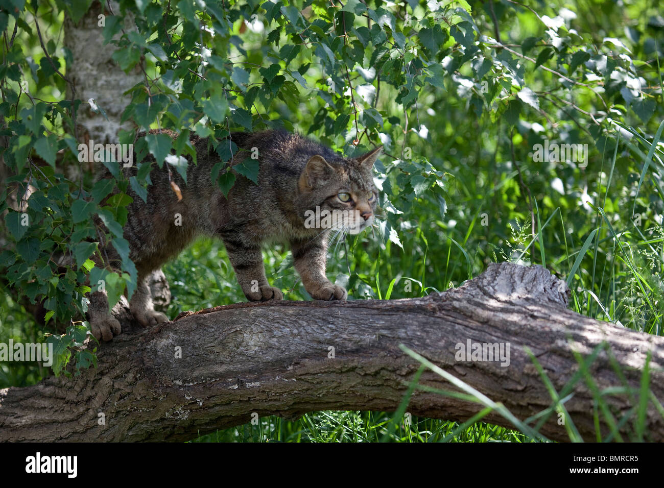Scottish Wildcat  Felis sylvestris  stalking along a tree branch in undergrowth taken under controlled conditions Stock Photo