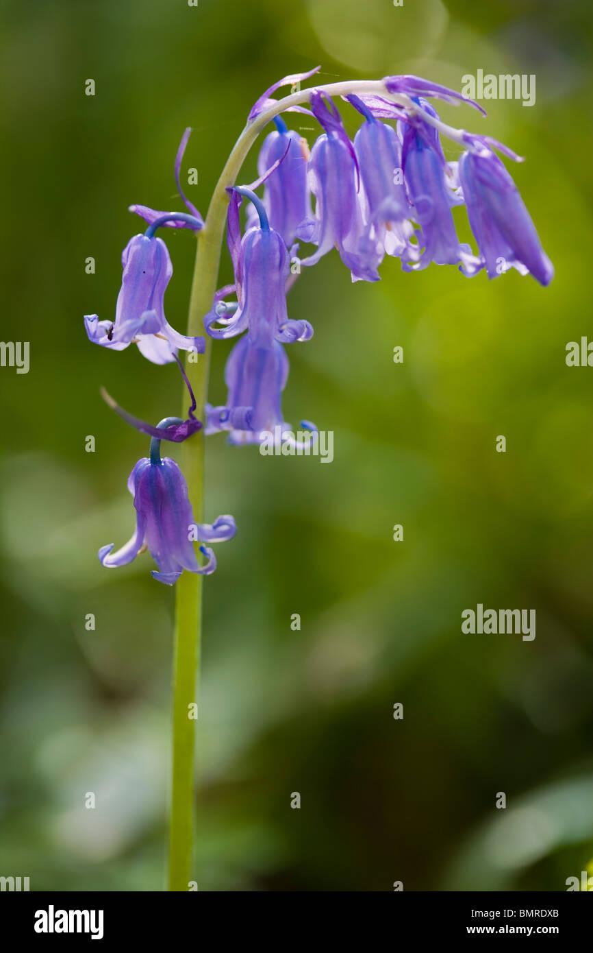 Common Bluebell, Hyacinthoides non-scripta, Endymion non-scriptum, Scilla non-scripta - Stock Image
