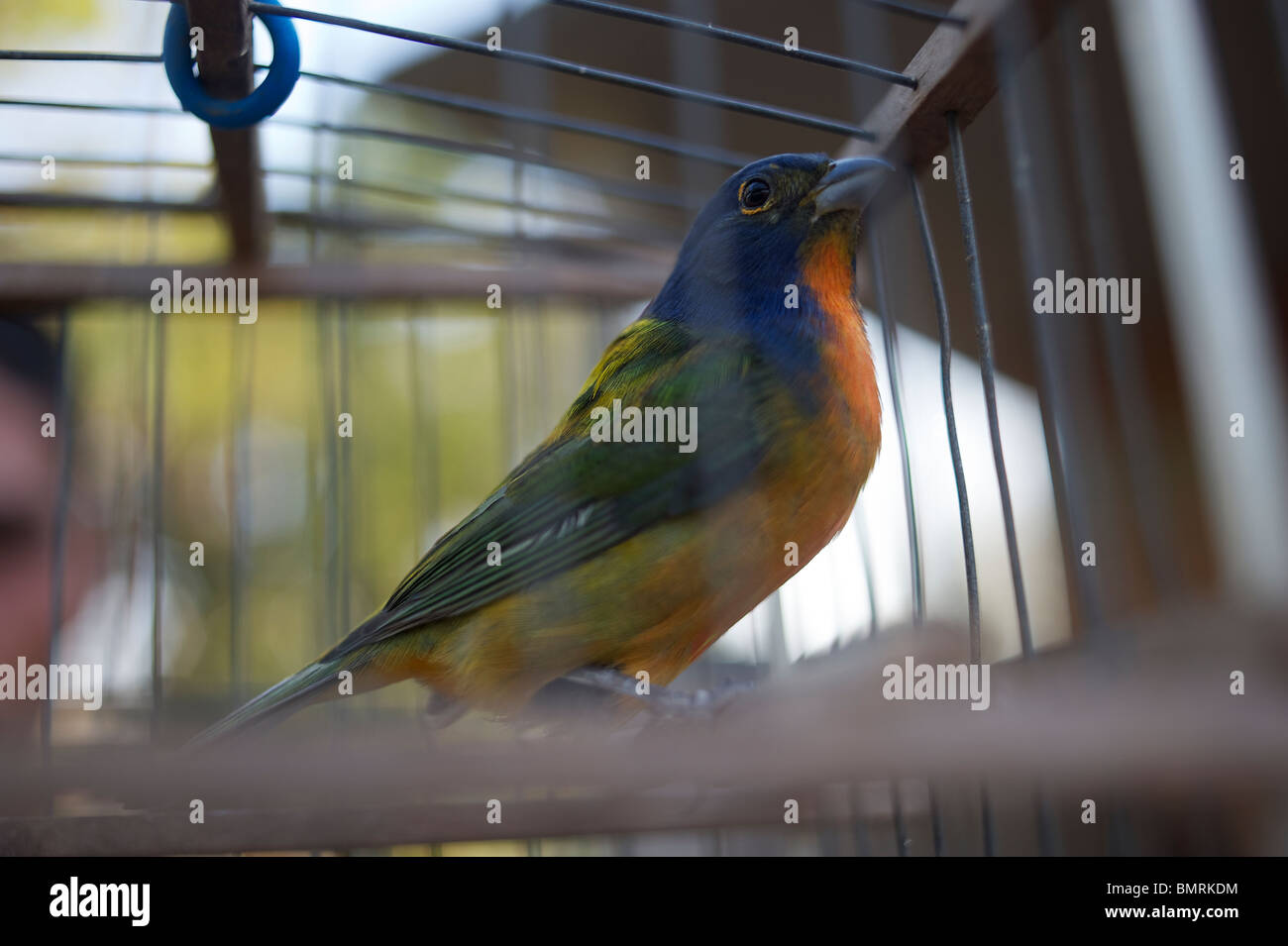 Migratory bird in cage - Stock Image