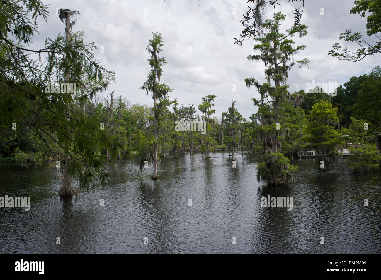 Cyprus swamp in Florida USA - Stock Image
