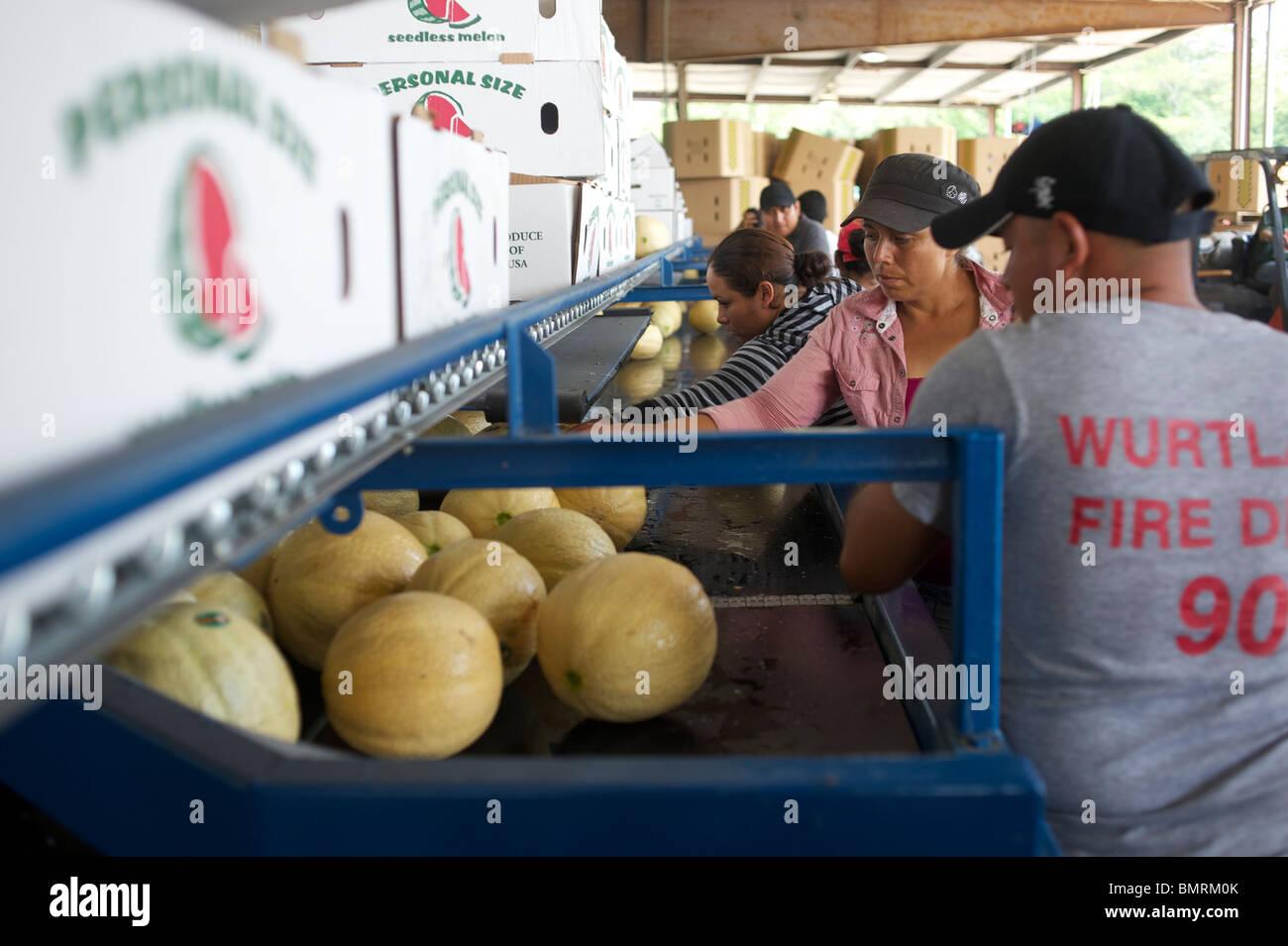 Grading melons, Florida USA - Stock Image