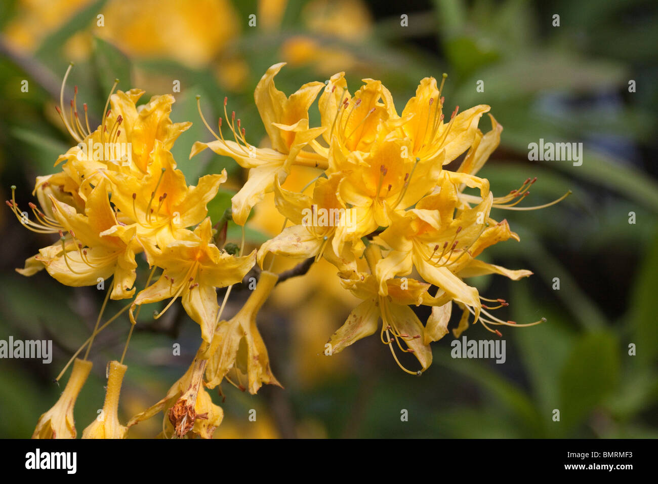 Yellow rhododendron flowers in may horizontal 104793 rhododendrons yellow rhododendron flowers in may horizontal 104793 rhododendrons mightylinksfo