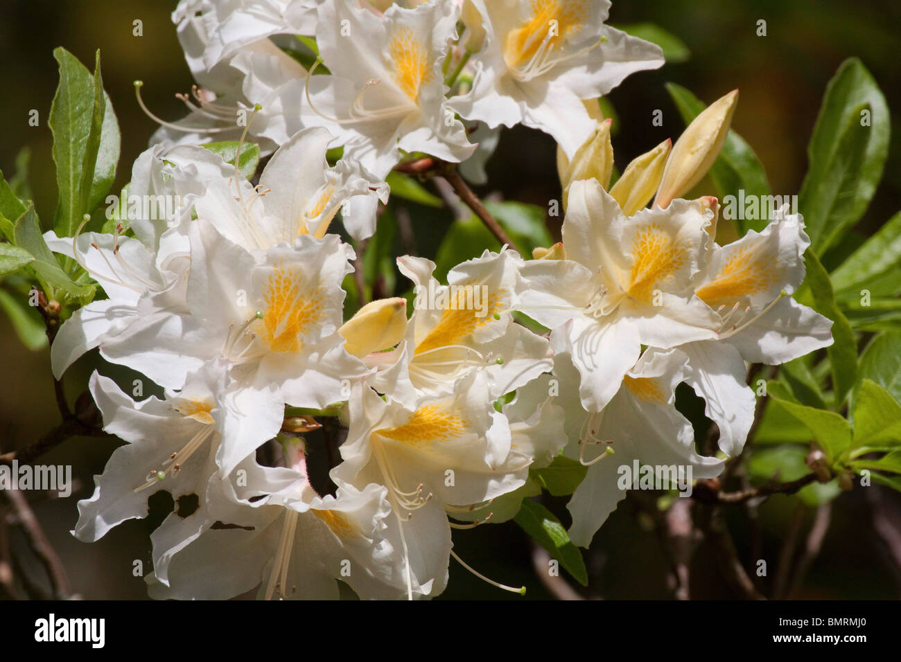 Yellow White Rhododendron Flowers In May Horizontal 104799 Stock