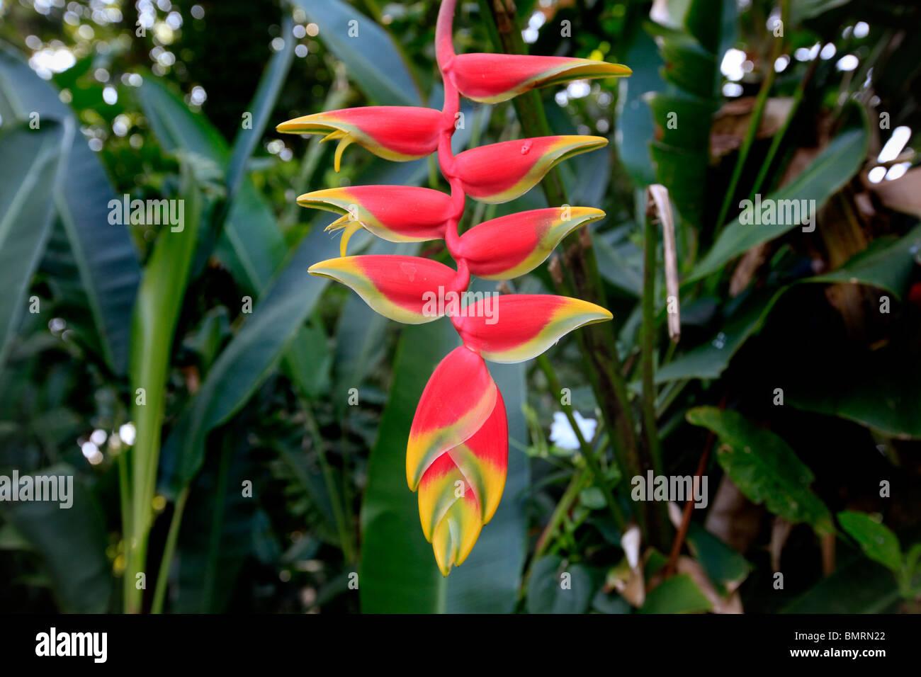 Heliconia, Keanae Peninsula,Hana Coast, Maui, Hawaii - Stock Image
