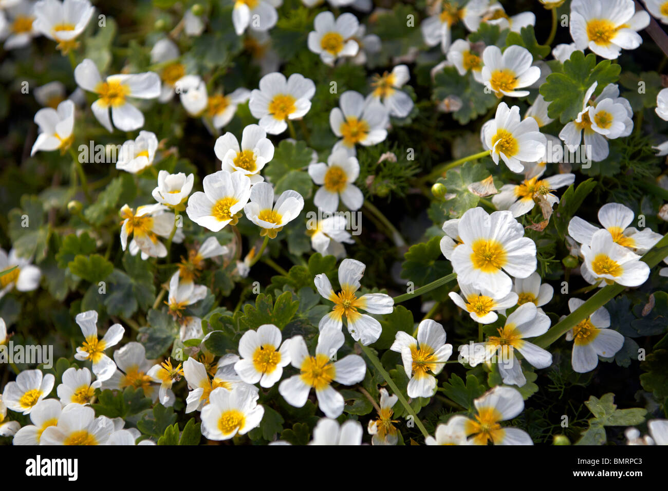 Water crowfoot plant growing in a wetland area of South Wales - Stock Image