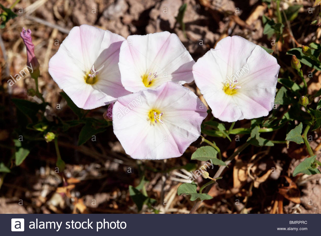Field Bindweed Convolvulus arvensis Arizona - Stock Image