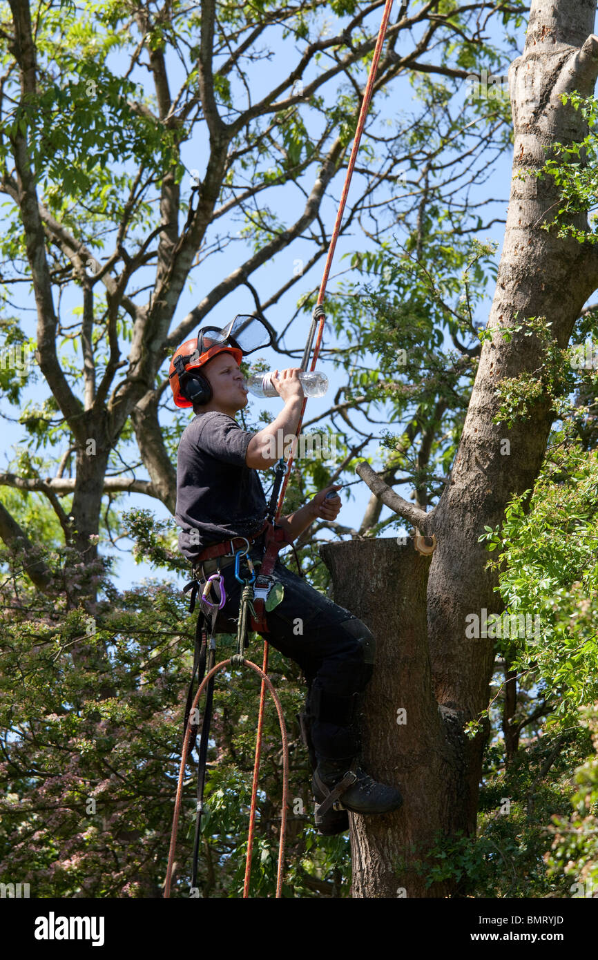 Tree surgeon working high in a tree with a chainsaw felling tree takes a drink from a water bottle - Stock Image