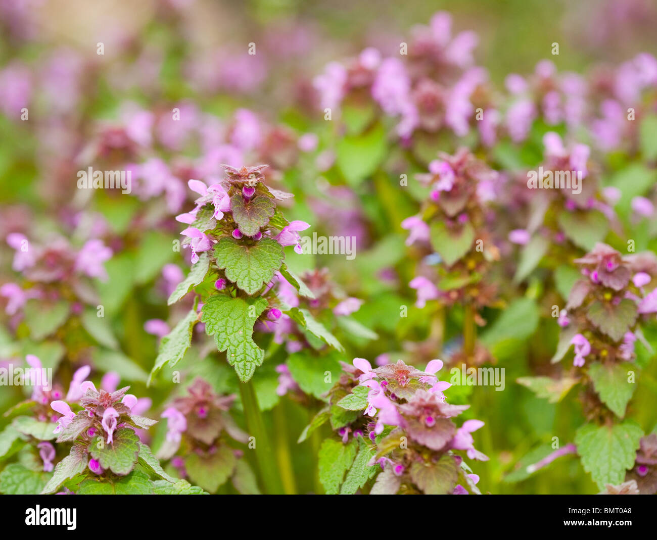 Wild Weed Small Pink Little Stock Photos Wild Weed Small Pink