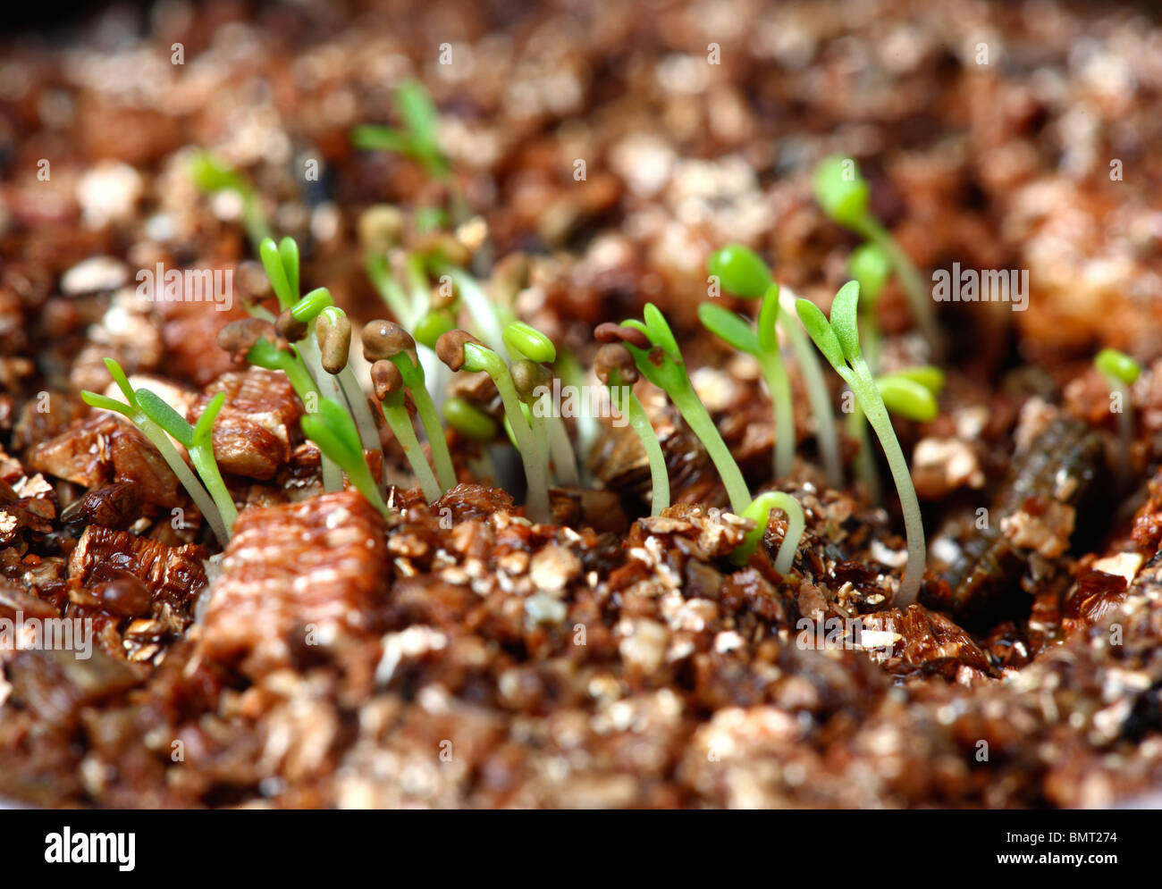 germ bud of clover, plants at a hotbed, agars - Stock Image