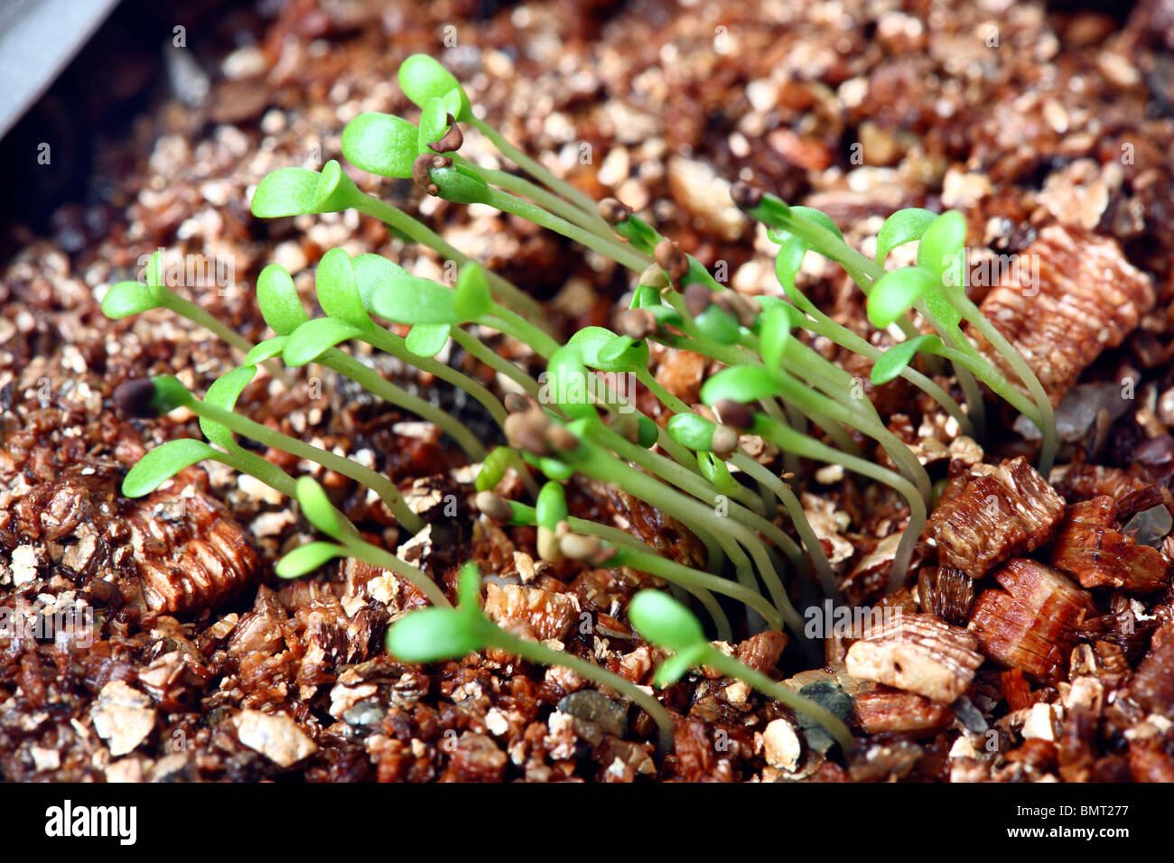 germ bud of clover, plants at a hotbed, agars Stock Photo