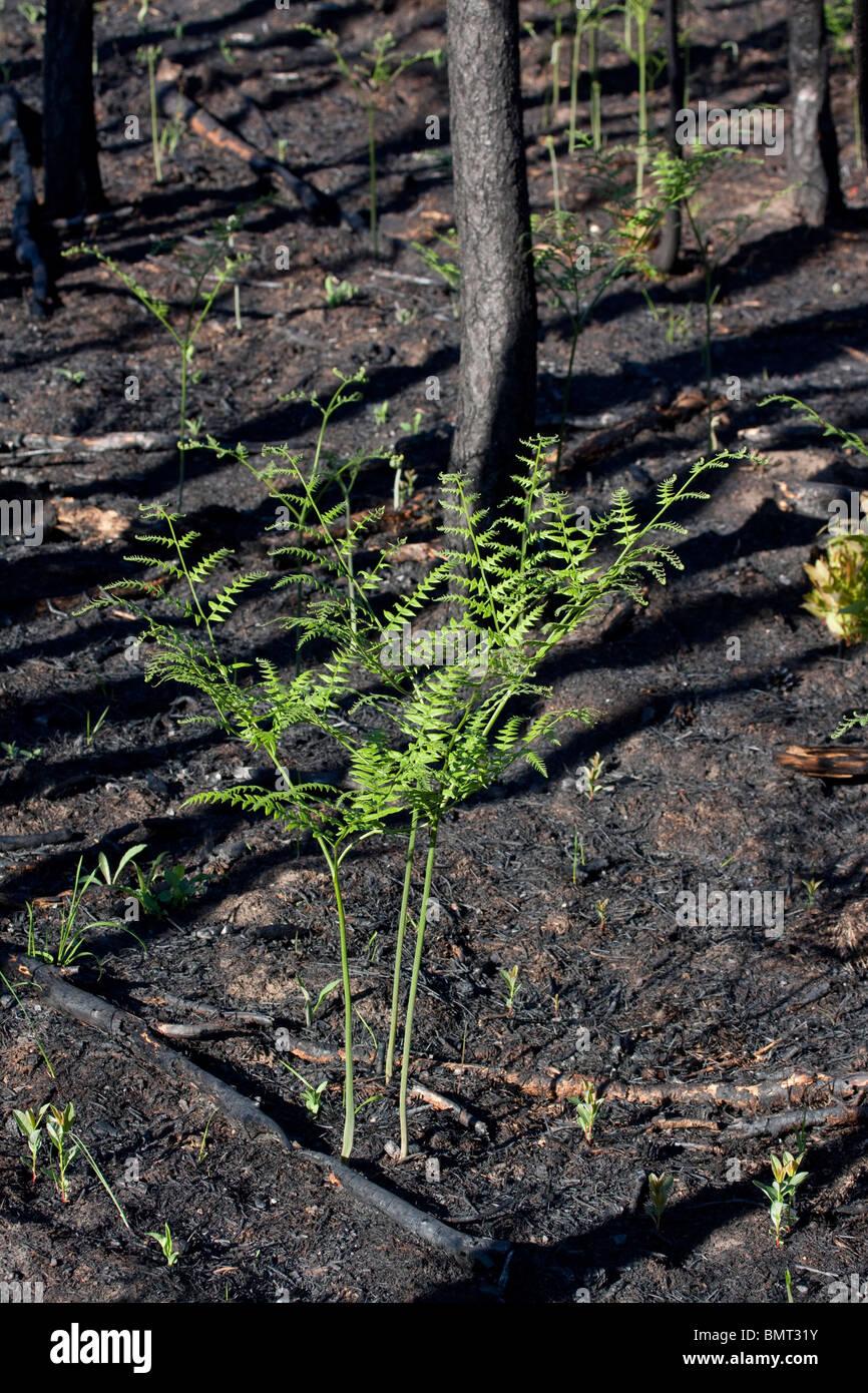 Freshly burned Jack Pine Forest  Pinus banksiana  with Bracken Fern Pteridium aquilinum Northern Michigan USA - Stock Image