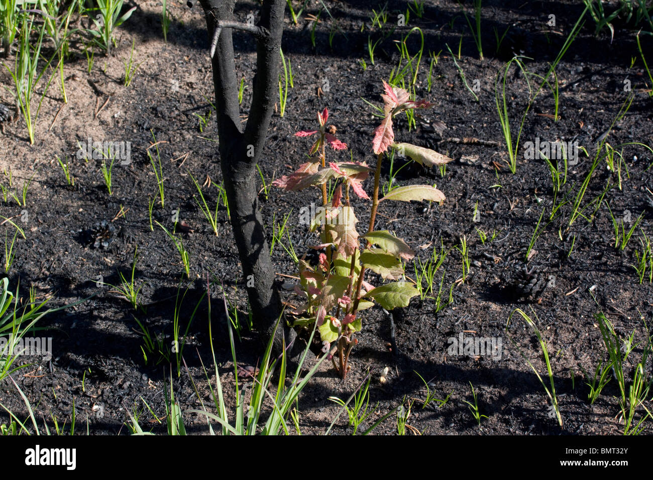 Young Oak sapling recovering from Forest Fire Northern Michigan USA - Stock Image
