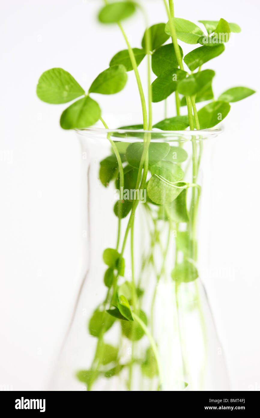 germ bud of clover, plants at a hotbed, agars, in a Erlenmeyer flask, labor. - Stock Image