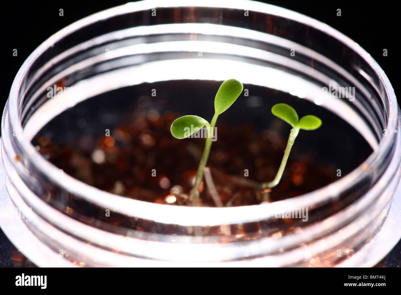 germ bud of clover, plants at a hotbed, agars, in a glass bowl, labor - Stock Image