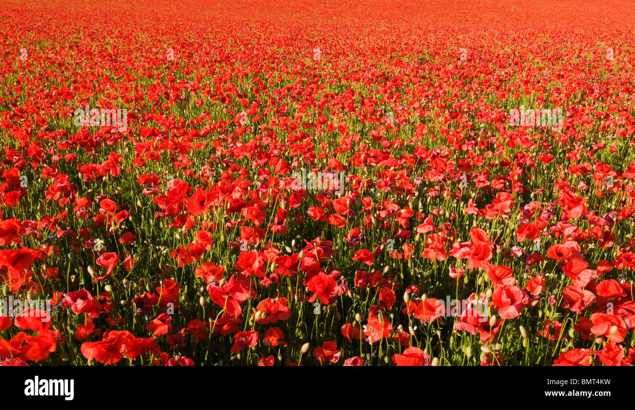 Wild Common Poppies in Worcestershire - Stock Image