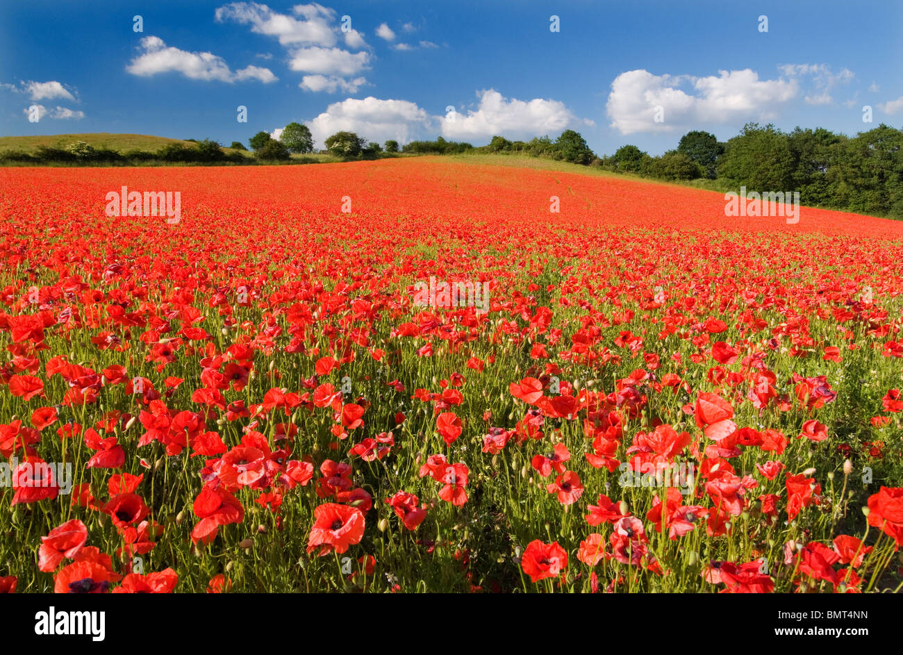 Spectacular display of Wild Poppies at a English Nature Reserve - Stock Image