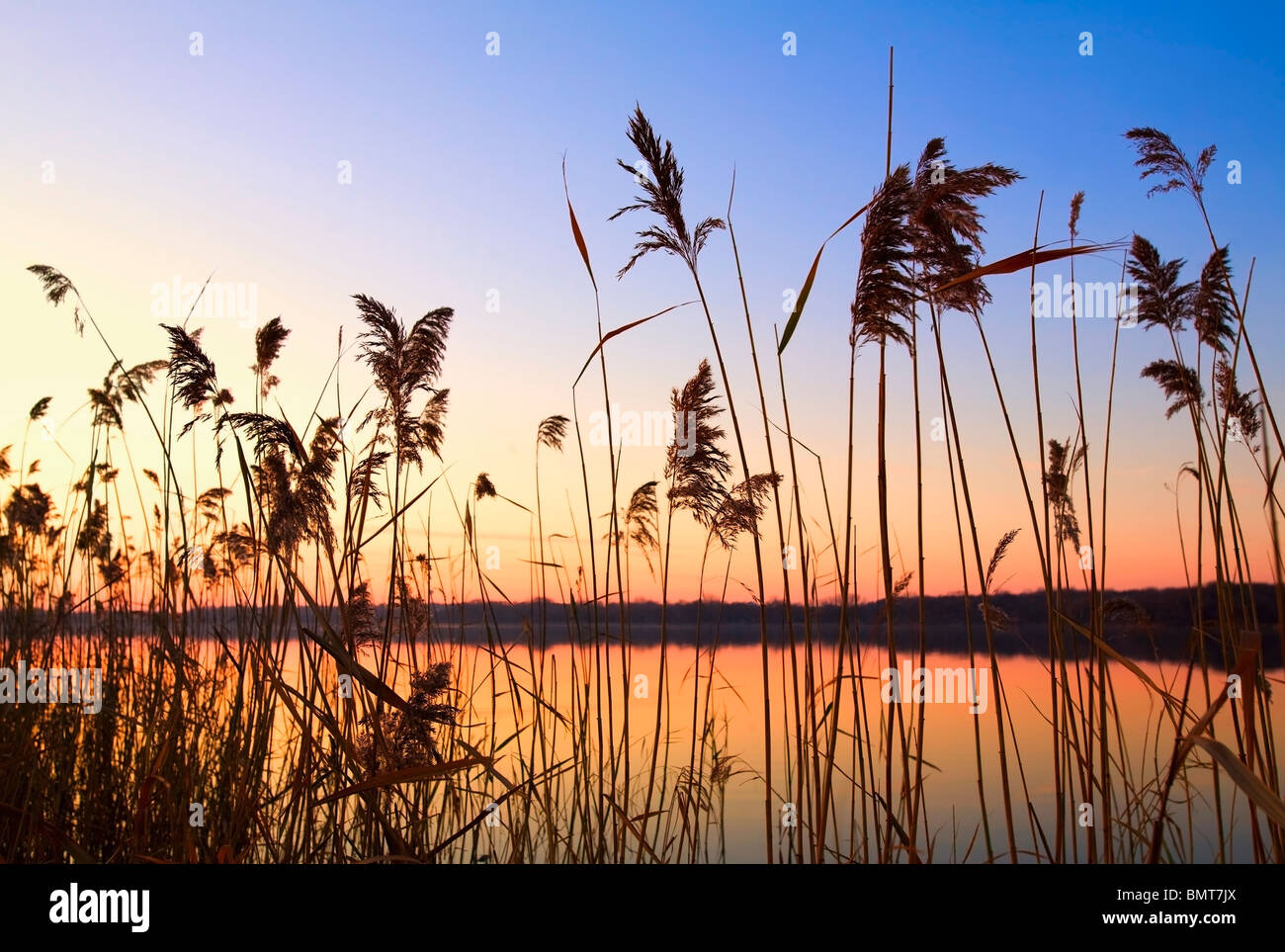 tall grass silhouette. Modren Tall Willmar Minnesota United States Of America Tall Grass Along The  Shoreline At To Silhouette