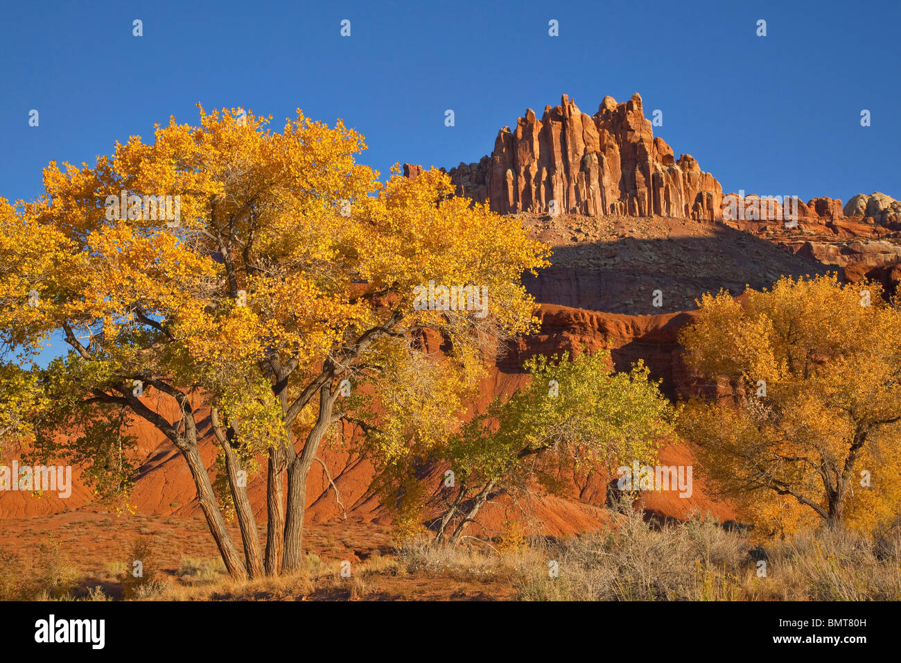 Cottonwood tree with golden autumn color and The Castle rising in background at Capitol Reef National Park, Utah, - Stock Image