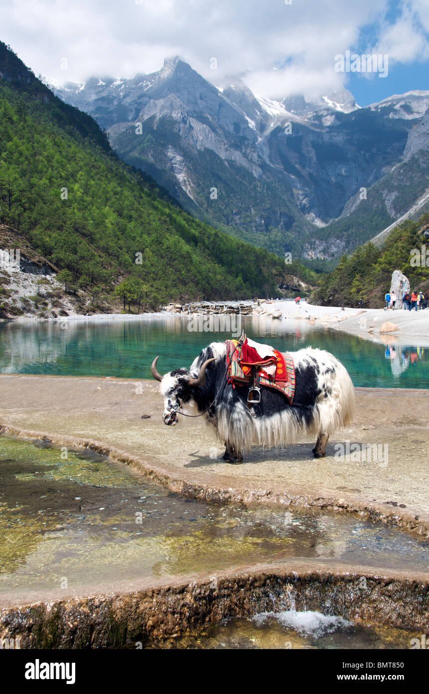 Yak and Yulong Xueshan (Jade Dragon) Mountain near Lijiang Yunnan China - Stock Image