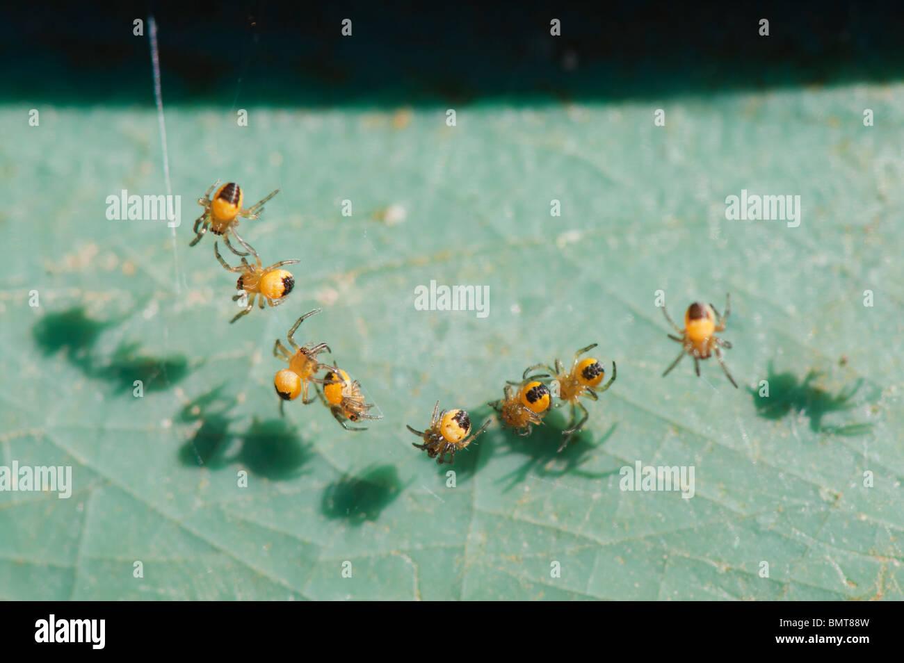 Araneus diadematus. Young cross orbweaver spiders macro - Stock Image