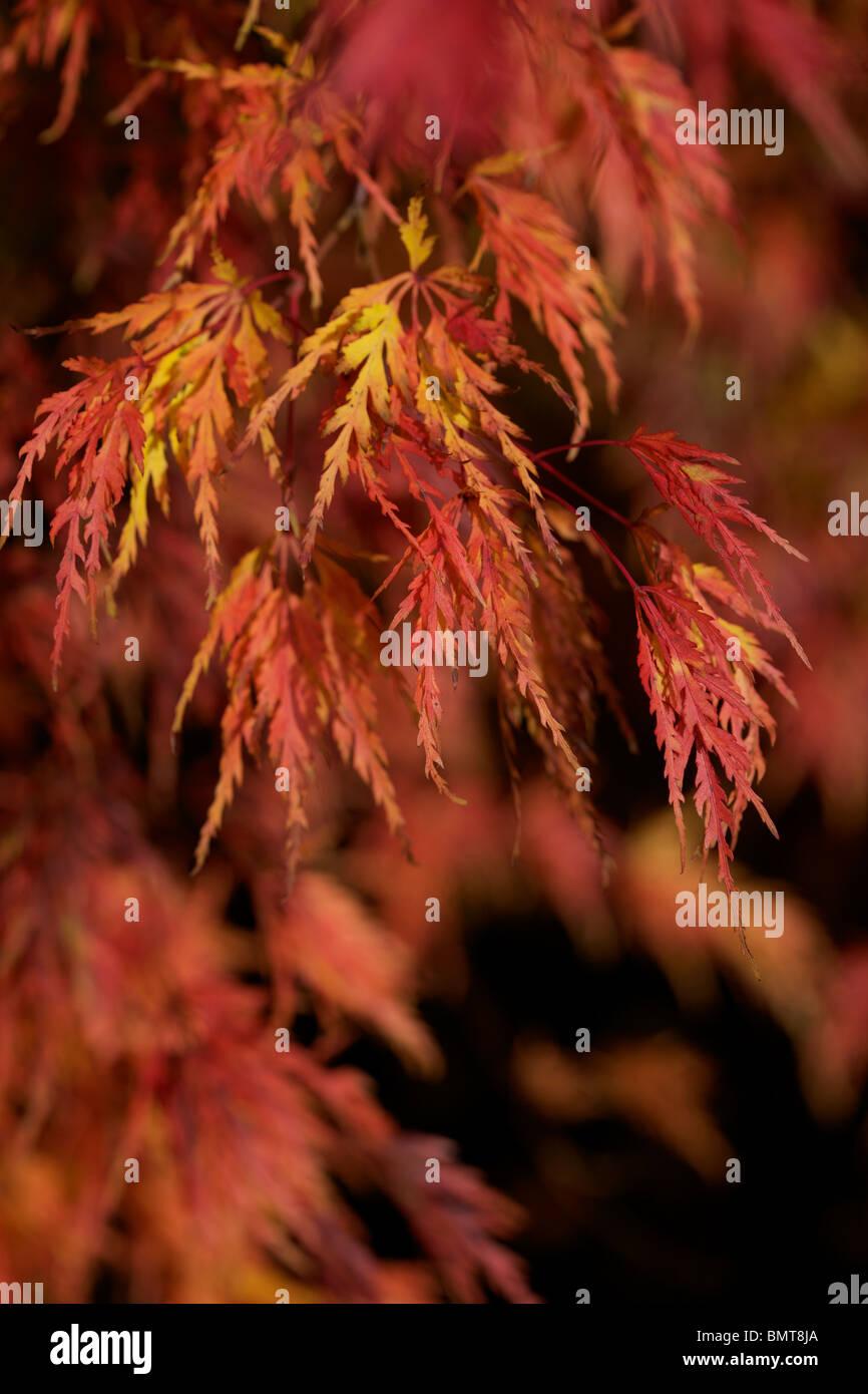 Beautiful flame like leaves of Acer Palmatum Seiryu in Autumn colour - Stock Image