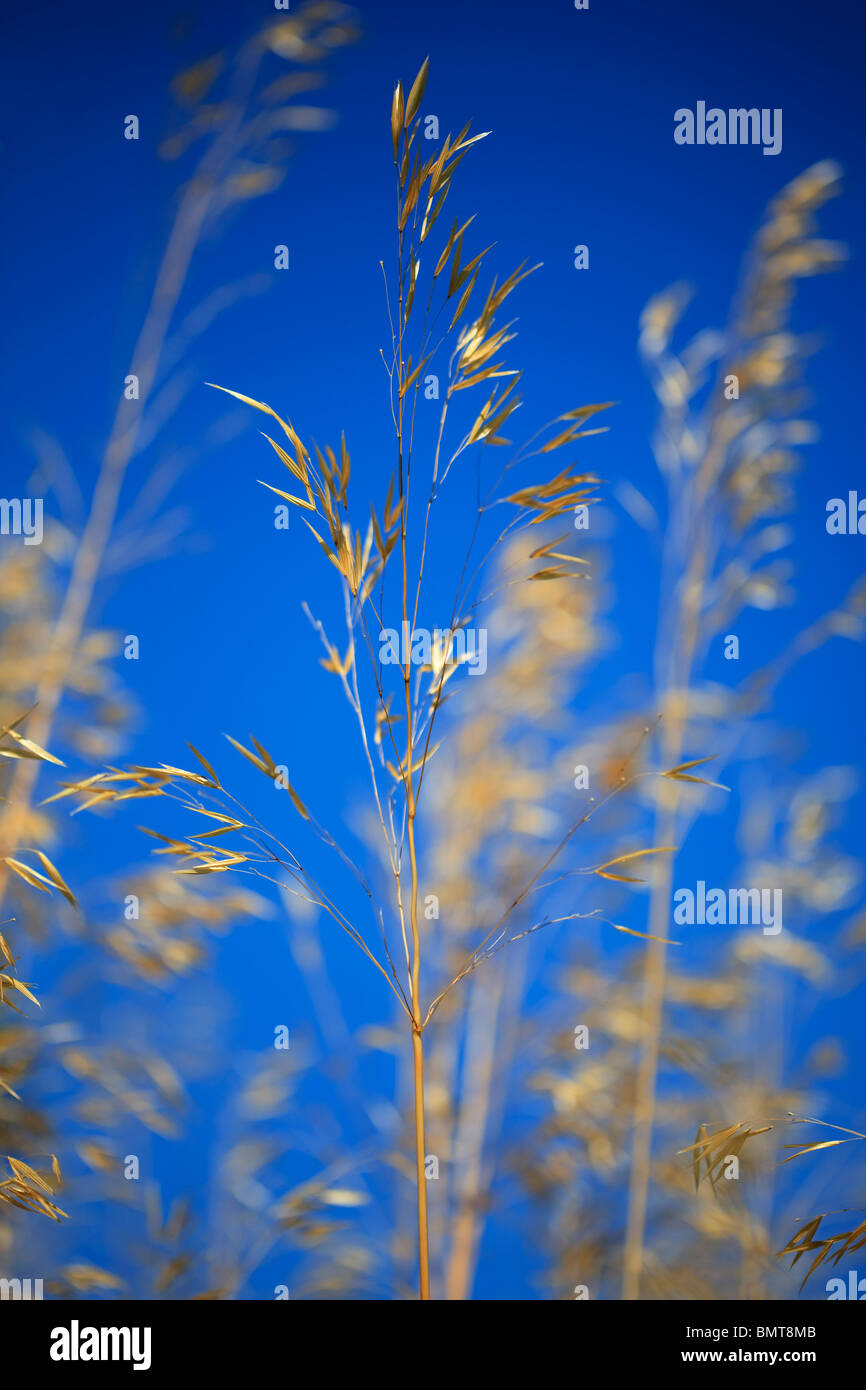 Stipa Gigantea blowing in the breeze against a deep blue sky - Stock Image