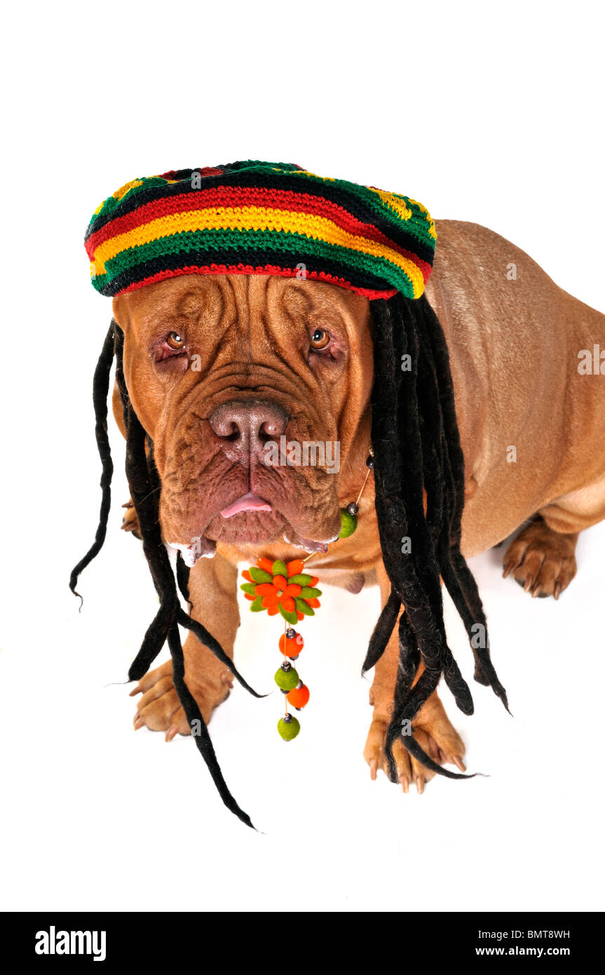 Funny View on a Big Doggy in Rastafarian Hat - Stock Image