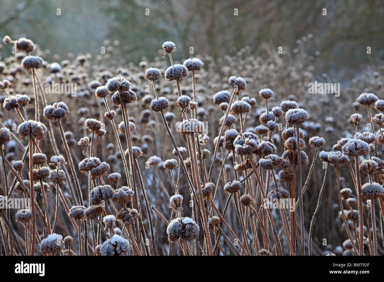 Seed heads of Monarda Garden view Scarlet, covered in frost - Stock Image