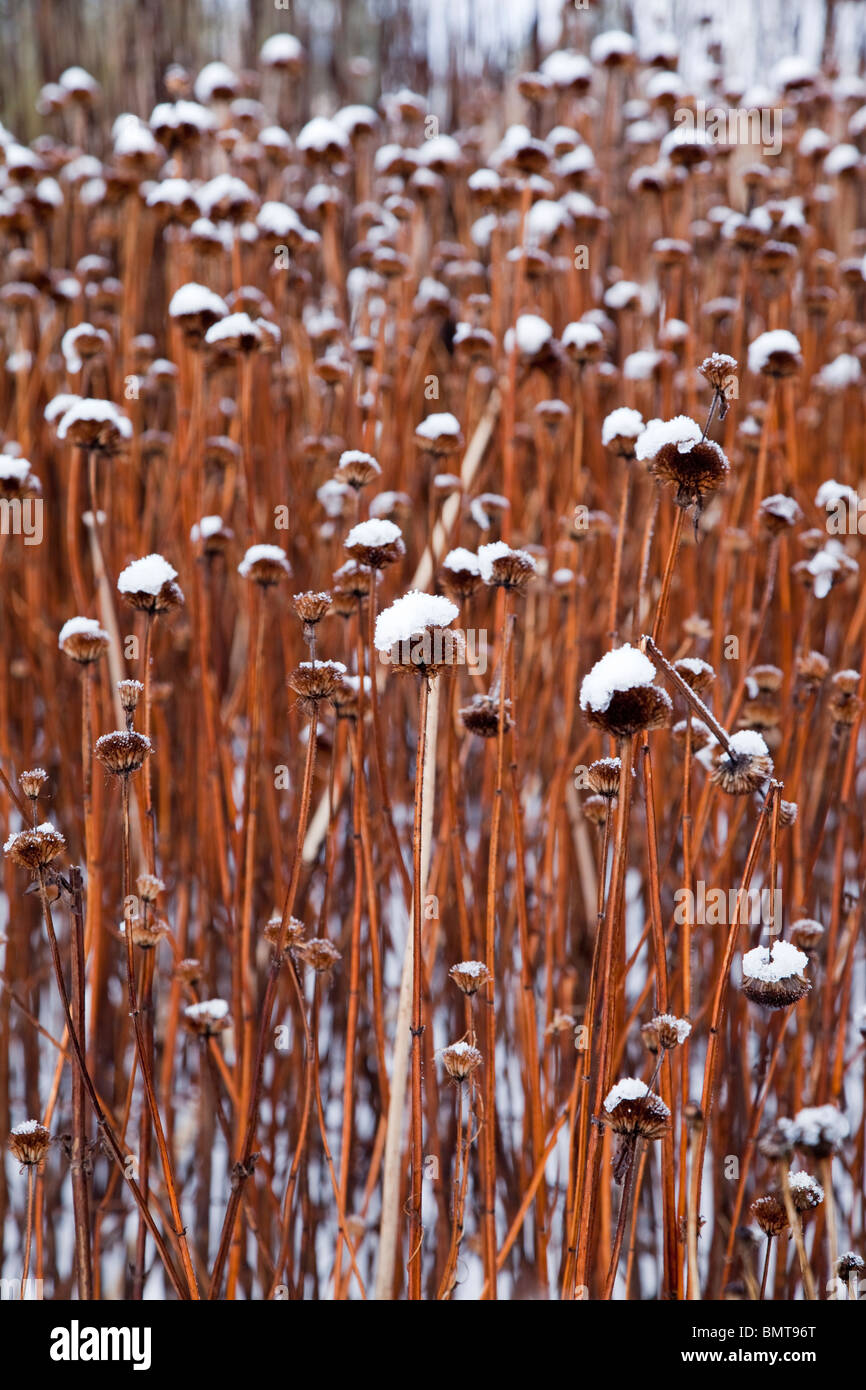 Seed heads of Monarda Garden View Scarlet covered in snow - Stock Image