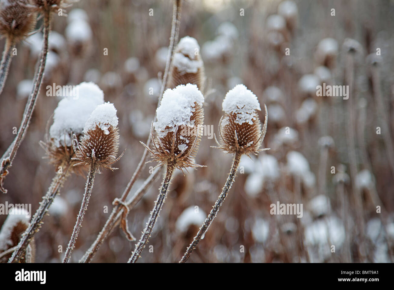 Snow and frost covered Teasles Stock Photo