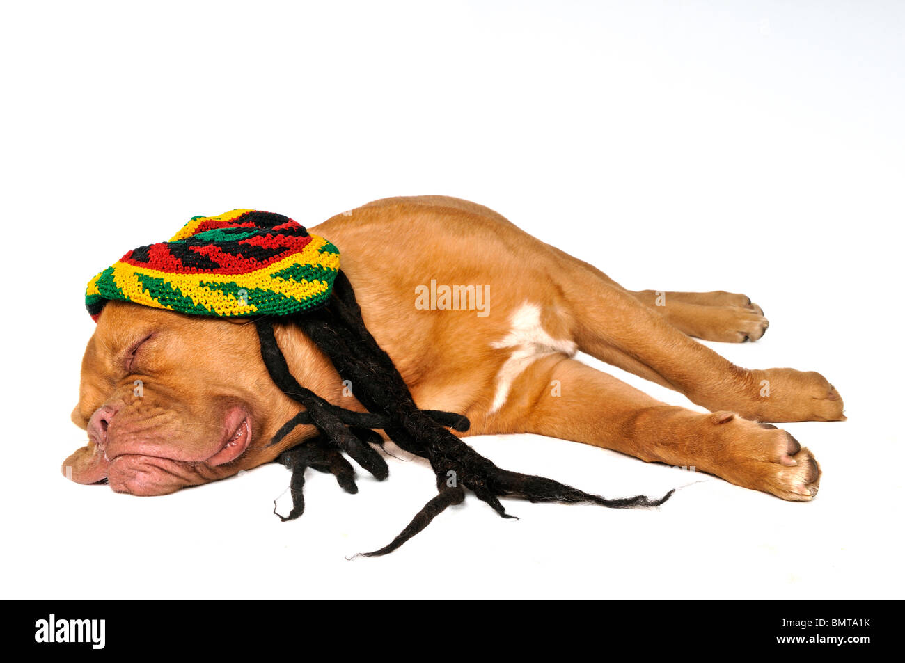 Cute Puppy Dreaming in Rasta Hat - Stock Image
