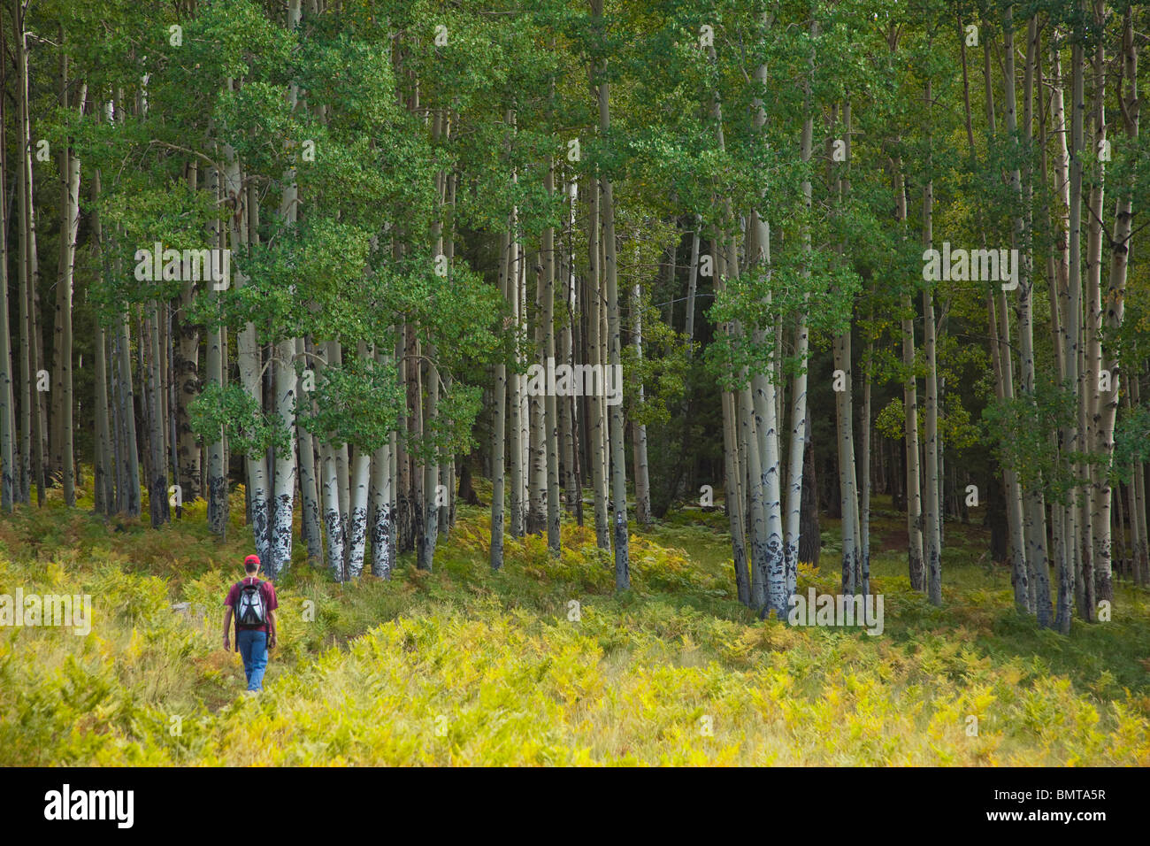 Hiker on Arizona National Scenic Trail in San Francisco Peaks area of Coconino National Forest, north of Flagstaff, - Stock Image