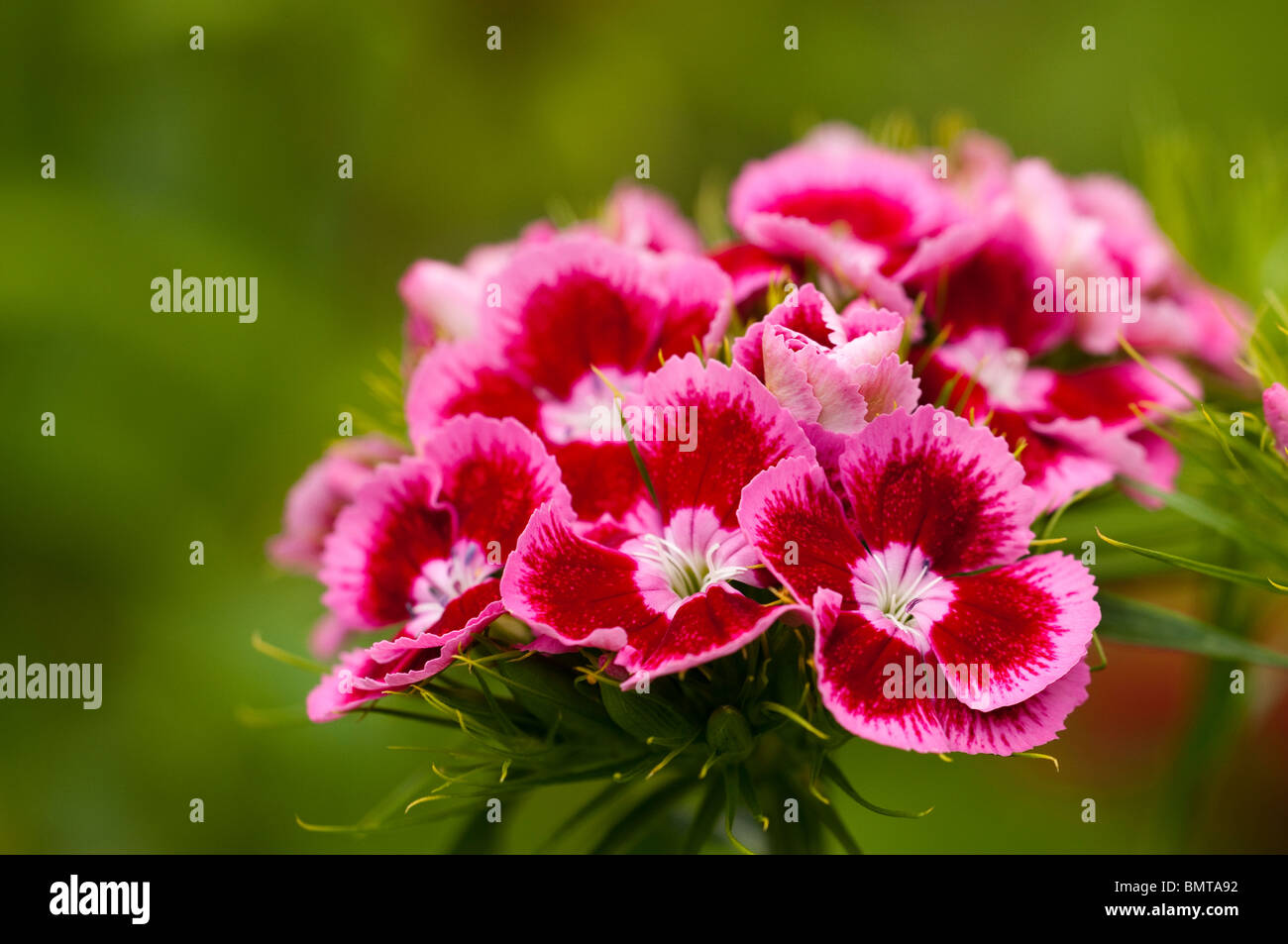 Sweet Williams, Dianthus barbatus, in flower in late spring - Stock Image