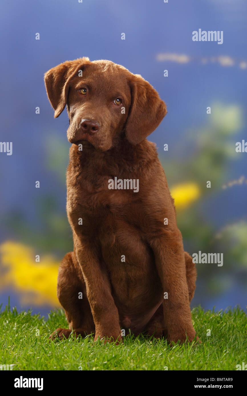 Chesapeake Bay Retriever, puppy, 14 weeks - Stock Image
