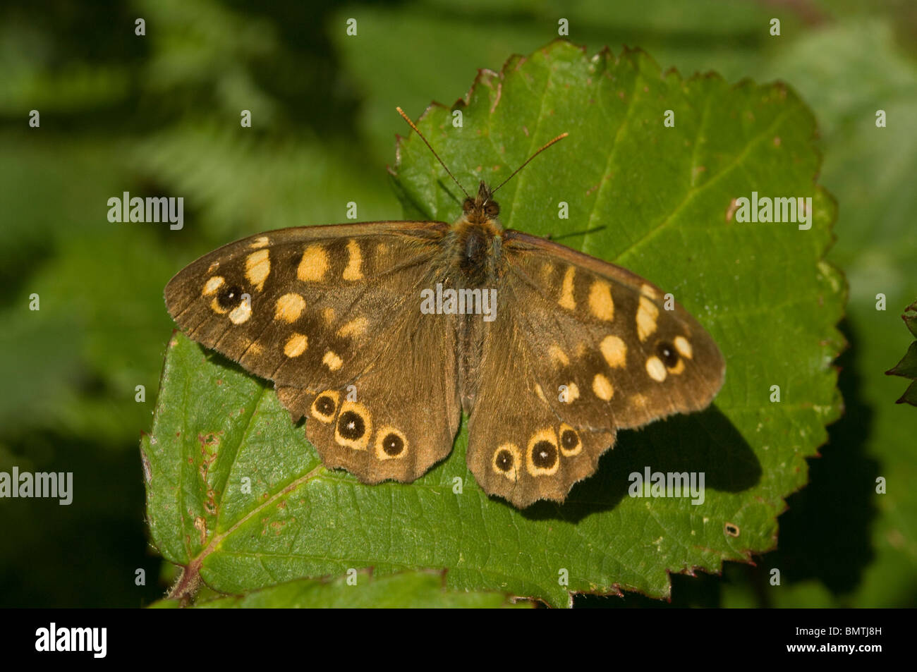 Speckled wood butterfly, Pararge aegeria, Britanny. France, Europe - Stock Image