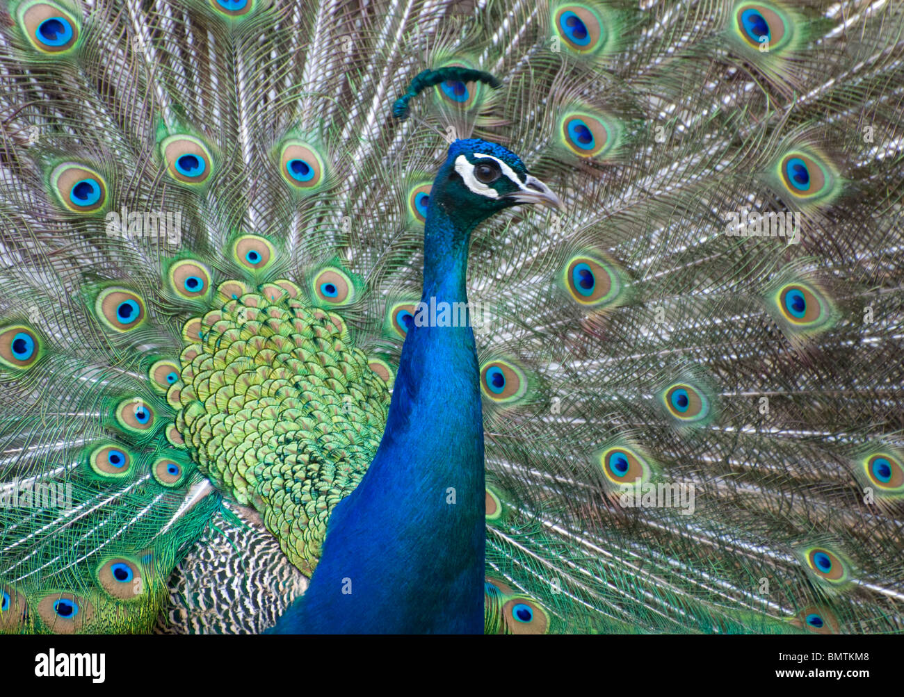 Peacock strutting around with feathers out.looking at camera.colourful beauty. Stock Photo