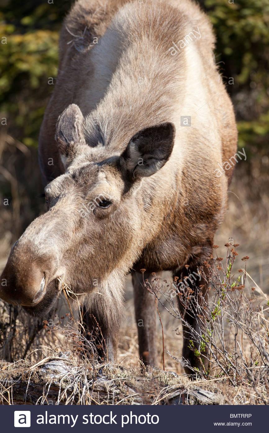 Moose, Kenai Peninsula, Alaska - Stock Image