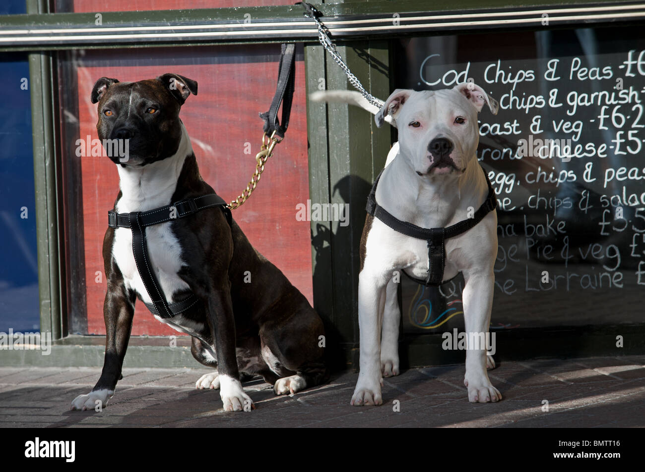 Staffordshire bull terriers (father and son) tired-up outside a pub in Felixstowe, Suffolk, UK. - Stock Image