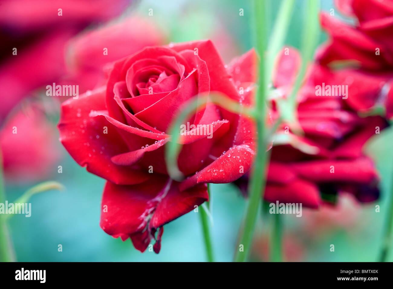 Roses, flowers, hobbies, gardening, green, nature - Stock Image