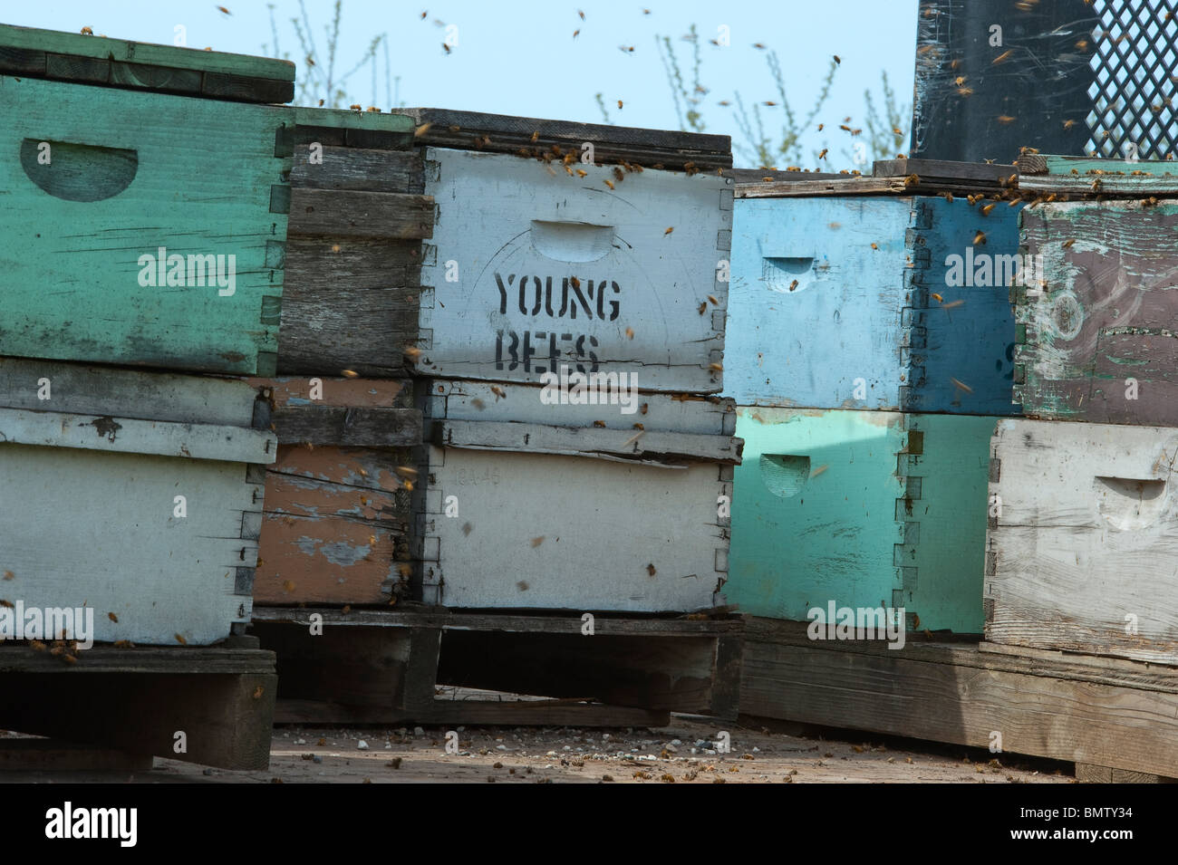 Bee hives on flat bed truck parked on road near cherry orchard in spring, pollinating the blossoms. - Stock Image